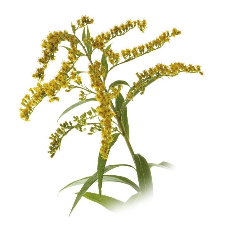 plantas-web-ok-GOLDENROD.jpg
