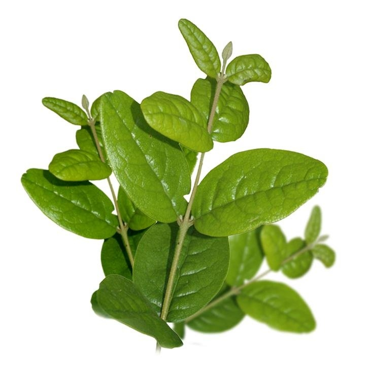 plantas-web-ok-Boldo.jpg