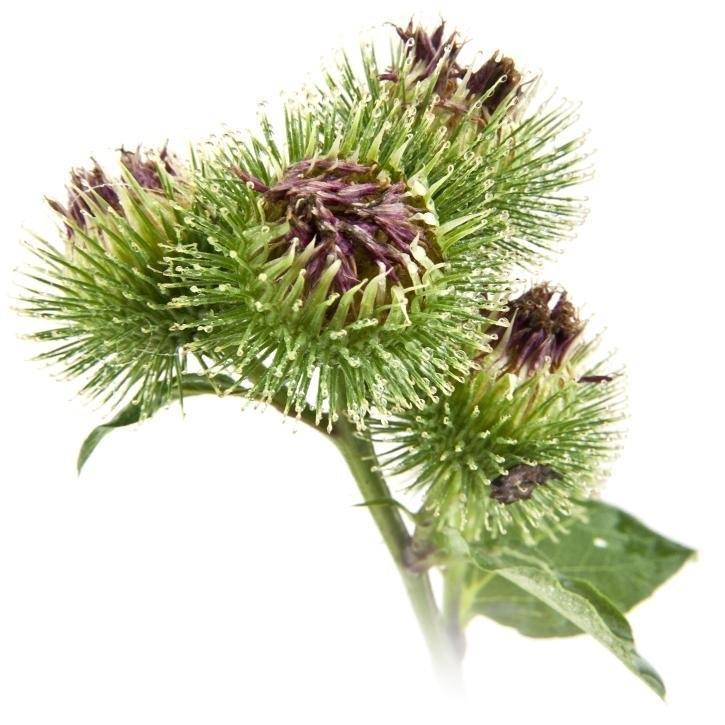 plantas-web-ok-Bardana.jpg