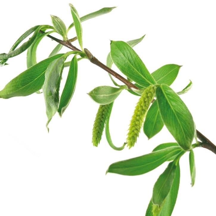 plantas-web-ok-WHITE-WILLOW.jpg