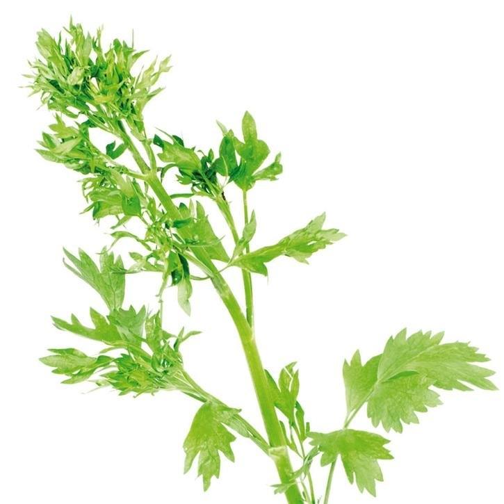 plantas-web-ok-Anis-verde.jpg