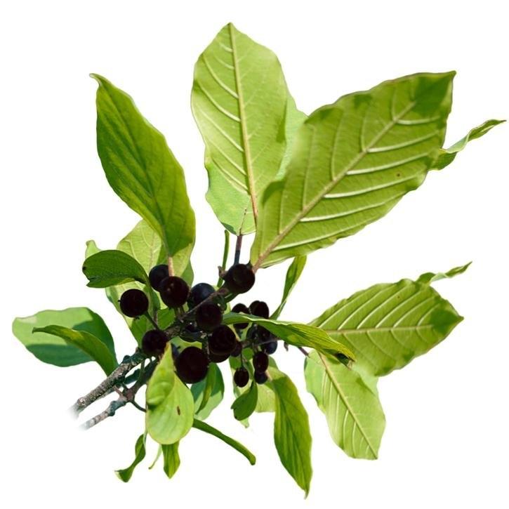 plantas-web-ok-Frangula.jpg
