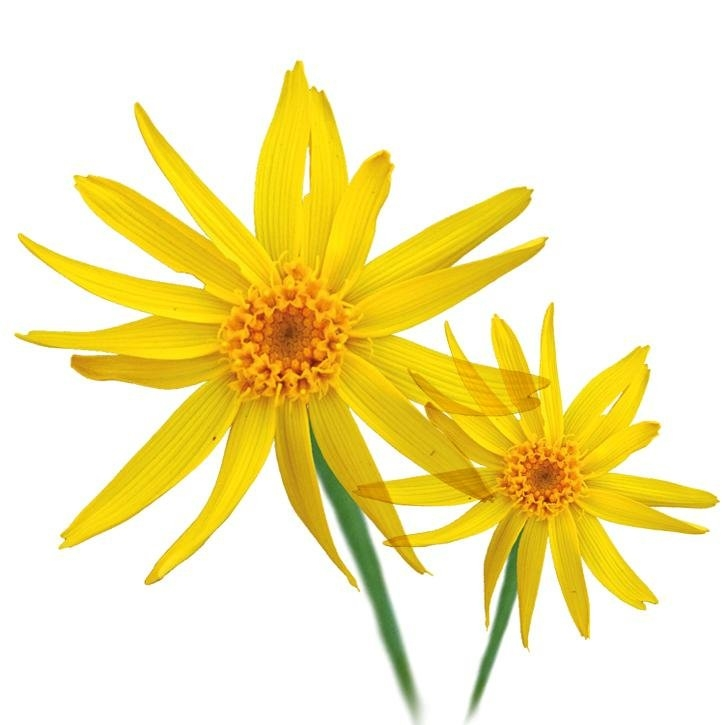 plantas-web-ok-Arnica.jpg