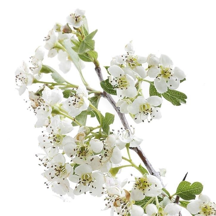 plantas-web-ok-Hawthorn.jpg
