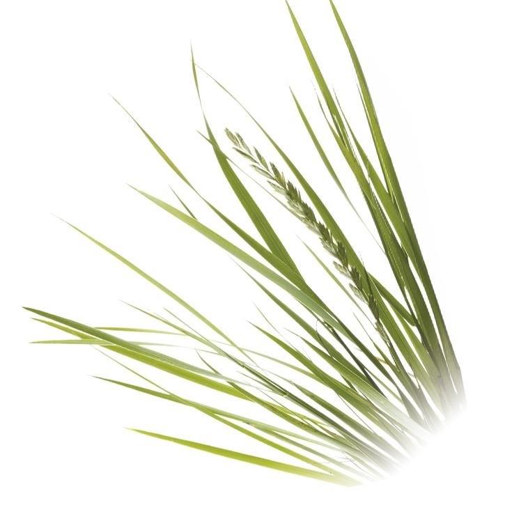 plantas-web-ok-COUCH-GRASS.jpg