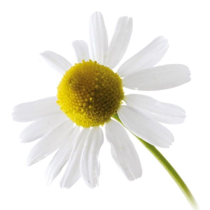 plantas-web-ok-ROMAN-CHAMOMILE.jpg