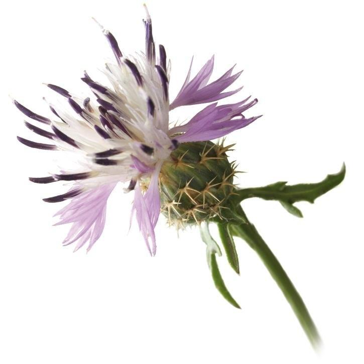 plantas-web-ok-centaurea.jpg