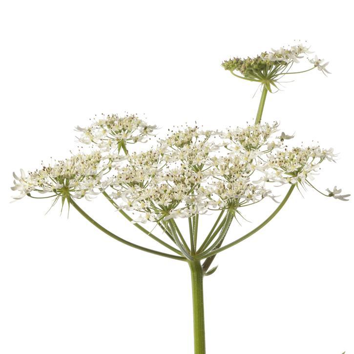 plantas-web-ok-Angélica.jpg
