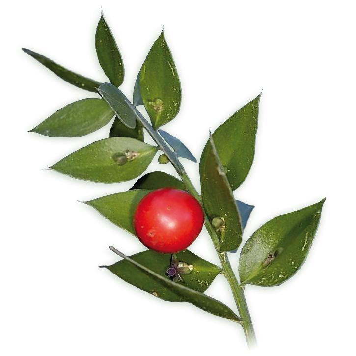 plantas-web-ok-Rusco.jpg