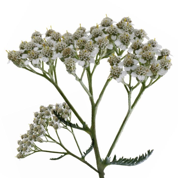 plantas-web-ok-YARROW.jpg